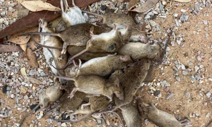 Hàng triệu con chuột khiến nông dân Úc từ bỏ vụ mùa | Tin Tức